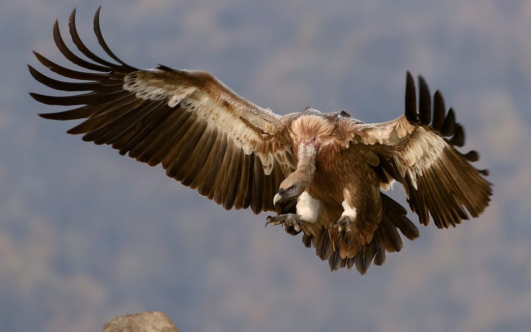 Science Cafe: Vultures!